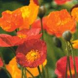 Servetel decorativ 'Poppies blow', 33cm